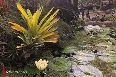 Bromélia - Tanguá - RJ - Brasil (Cleber Moraes) Tags: tanguá flores riodejaneiro