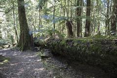 IMG_5530-Philosoher Falls Waratah-track-A (geoffgleave) Tags: philosopherfallstrack waratah forest