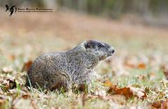 Woodchuck_GSMNP_2016_1 (DawnWilsonPhotography) Tags: greatsmokymountainsnationalpark wildlife woodchuck fall leaves green grass brown northcarolina groundhog
