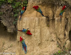 Red-and-green macaws at clay lick2 (tau247) Tags: amazonianrainforest arachloropterus manunationalpark peru redandgreenmacaw southamerica behavior behaviour bird bright claylick colorful colourful green minerals nature red wildlife