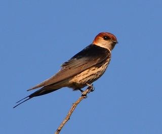 Greater Striped Swallow Gondwana tagged