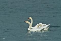 Cygnes tuberculs / Mute Swans (alain.maire) Tags: bird anatidae cygnusolor cygnetubercul muteswan nature quebec canada fleuvesaintlaurent saintlawrenceriver