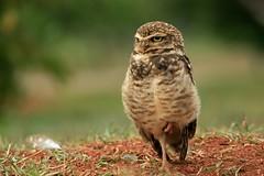 Burrowing Owl (Athene cunicularia) (LLysaght) Tags: owl diurnalowl athenecunicularia burrowingowl parquedacidade brisilia