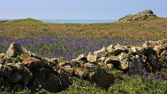 Skomer Island NT Wales - 150516 (30) (ailognom2005-Catching up slowly.) Tags: skomerisland pembrokeshire wales britishlandscape britishwildflowers wildflowers wildlifetrust