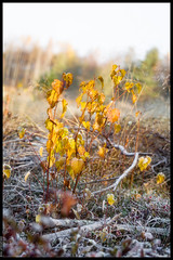 Frost and Thaw (Mika Latokartano) Tags: frost birch autumncolours forest warmlight