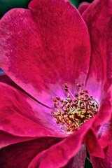 IMG_0721tzl1scTBbLGE2 (ultravivid imaging) Tags: ultravividimaging ultra vivid imaging ultravivid colorful canon canon40d flower red redflower rose redrose