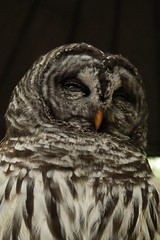 Barred Owl (iii) (sarah-sari19) Tags: june summer owl barredowl outside outdoors feathers feathered black grey brown winged perch leaves wise face portrait
