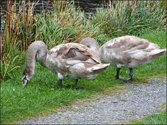 Newport Shropshire canal 111011old photos Liz Callan (22) (LIZ CALLAN) Tags: newport shropshire canal dog bordercollie grass water swans cygnets bridges paths waterlilies lizcallan lizcallanphotograph lizcallanphotography trees outside landscape