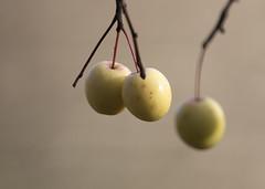 Late Season Apples_1898 (Mike Head - Jetwashphotos) Tags: apples lateseason autumn lateautumn fruit birdfood westhamisland ladner southdelta delta bc britishcolumbia canada westerncanada westernregion