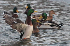Look at me aren't I clever. (jdathebowler Thanks for 965,000+ views.) Tags: mallardducks waterfowl ducks
