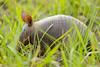 Dasypus novemcintus (azambolli) Tags: tatu armadillo mammal mamifero nature natureza brasil animal