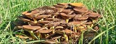 Pilzgesellschaft - mushroom company (Jorbasa) Tags: jorbasa hessen wetterau germany deutschland pilz mushroom gesellschaft company wiese meadow herbst autumn