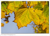Autumn Colour (Paul Simpson Photography) Tags: nature november2016 leaf leaves tree photoof imagesof imageof photosof paulsimpsonphotography sonya77 sonyphotography sunshine beautifulnature bluesky yellowleaves autumncolour fall fallcolor