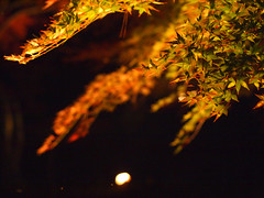 green into red (matsugoro) Tags: olympus digital pen epl2 zuiko 50mm nagatoro chichibu saitama night lightup autumn leaves nature red green