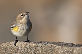 Yellow-Rumped Warbler (Explored)
