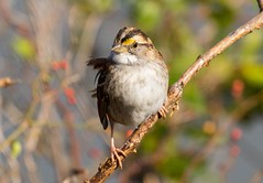 7K8A0778 (rpealit) Tags: scenery wildlife nature state line lookout whitethroated sparrow bird