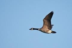 Canada Goose (Branta canadensis) (Nga Manu Images NZ) Tags: brantacanadensis canadagoose fscientificnames