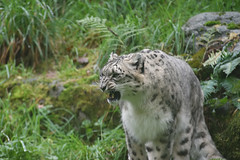 Helen (zenseas : )) Tags: leopard leopards snowleopard unciauncia panthera pantherauncia woodlandparkzoo wpz phinneyridge helen dhirin male female 11yearsold fall autumn seattle washington snarl growl
