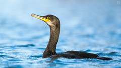 Shag (Max Thompson Photography) Tags: nature wild wildlife photography eye contact shag bird water fish blue sea black contrast south west england uk cornwall falmouth