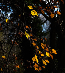 Hanging on (Colin-47) Tags: leaves hangingon november norfolk 2016 colin47 eos6d ef24105mmf4lisusm lateautumn beechleaves colour