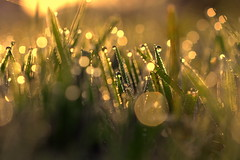 treasure (joy.jordan) Tags: grass dew sunrise light texture bokeh morning autumn 52by52