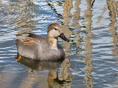 Gadwall, m. (Delta Naturalists Casual Birding) Tags: 201414 dncb colony dncblocation