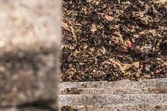 Grisaille V (Chris Rod Photo) Tags: chrisrodphoto 2016 normandie courseullessurmer calvados plage gris bton parapet algues texture flou marches profondeurdechamp 85mm trois plans composition abstrait minimalisme gomtrique stairs bokeh