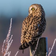 <.< (mLichy911) Tags: shorteared owl owls raptor portrait pnw wa seattle nature canon 7dmarkii 500f4 closeup detailed feathers stare bokeh sunrise winter cold bird macro
