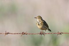 Bisbita (sergio estevez) Tags: ave bokeh color desenfoque fauna pajaros luz oxido posadero naturaleza bisbita sergioestevez explore