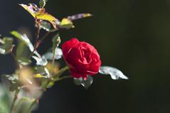 Rose (milance1965) Tags: rose roterose redrose red rot garten nikon d90 85mm 1 8 milance vuckovic macro
