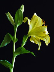 Lily (PrunellaCara) Tags: lilies flowers closeup macro yellow blackbackground green portrait