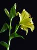 Lily (PrunellaCara) Tags: lilies flowers closeup macro yellow blackbackground green portrait
