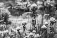 Erster Frost - 0030_Web (berni.radke) Tags: ersterfrost frost raureif wassertropfen rime eisblumen eiskristalle iceflowers icecrystals escarcha