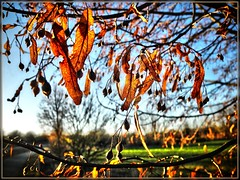 Shining leaves (almresi1) Tags: blätter äste leuchten herbst autumn welzheim tree baum
