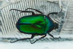 One Green Beetle (NVOXVII) Tags: hmm macromondays macro closeup beetle insect nature small green shiny detail anatomy glass perspex suspended scientific nikon