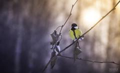 Just chilling right here (>>Marko<<) Tags: greattit talitiainen lintu bird nature luonto outdoor canon valokuvaus suomi finland
