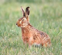 Brown Hare (Lutra56) Tags: lepuseuropaeus brownhare mammal mammals hares briitishmammals wildlife nature naturereserve naturephotography canon70d sigma150600mmsport