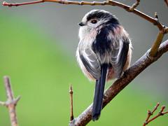 On Watch while it's mate is foraging! (macfudge1UK) Tags: nature 2016 avian bird britishbird britishbirds england fauna gb greatbritain oxfordshire oxon rspbgreenstatus uk wildlife winter ©allrightsreserved bbcspringwatch nikon coolpix coolpixp610 p610 nikoncoolpixp610 britain aegithaloscaudatus branch longtailedtit tree