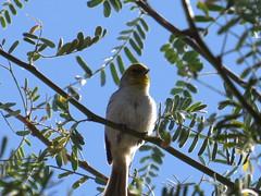 Verdin - Arizona by SpeedyJR (SpeedyJR) Tags: 2016janicerodriguez sweetwaterwetlands tucsonaz verdin birds wildlife nature tucsonarizona arizona speedyjr