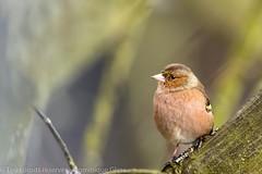 Pinson des arbres - Common chaffinch (dom67150) Tags: animal oiseau bird passereau pinsondesarbres commonchaffinch chaffinch fringillacoelebs