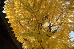 (eyawlk60) Tags:          autumn latefall tree jinja shrine yellow canon eos 5d