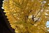 神社に寄り添う大イチョウ (eyawlk60) Tags: 神社 住吉神社 ねやがわ戎神社 秋 晩秋 黄色 黄葉 オオイチョウ 木 autumn latefall tree jinja shrine yellow canon eos 5d