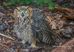 Eye to Eye with Owl (tclaud2002) Tags: owl bird predator birdofprey animal wildlife nature outdoors outside natural jupiterflatwoods jupiter florida usa outdoor