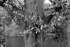 fin de saison (fotoleder) Tags: nb monochrome bw noiretblanc fotoleder ville plantes feuilles nature arbres eau fleuve automne extérieur végétaux genève
