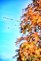 Hold the lines (Instragram Andrea TigerVianelli) Tags: allaperto birds uccelli uccello fili elettrici elettricità foglie chioma sky colors azzurro colori marrone autunno inverno stormo volatili ali andrea bird simmetric simmetria vianelli nikon d5100