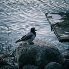december nature (miemo) Tags: animal bird crow em5mkii europe finland helsinki nature olympus olympus60mmf28 omd rocks sea shore tervasaari water winter