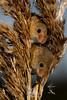 Eurasian Harvest Mice (Micromys minutus) (Ouroboros Photography) Tags: jimwetherall ouroborosphotography canon macro 7d 100mm mammal animal mouse mice harvest westcountry wildlife photography centre devon micromys minutus
