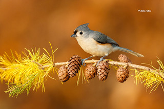 Tufted Titmouse on Tamarac
