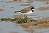 Ringed Plover (Roy Lowry) Tags: charadriushiaticula ringedplover westkirby wader