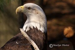 Eagle Profile (moelynphotos) Tags: birds animals eagle baldeagle moelynphotos
